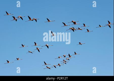 France, Aude, Gruissan, Flamingos at the pond of Campagnol - Stock Photo