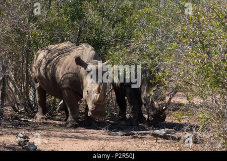 White Rhinos at Mkhaya Game Reserve, Swaziland - Stock Photo
