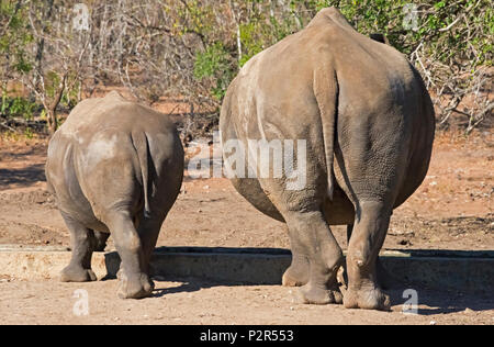 White Rhinos, mother with cub, Mkhaya Game Reserve, Swaziland - Stock Photo
