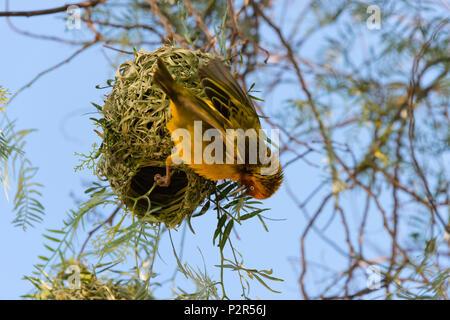 Weaver with nest, Swaziland - Stock Photo