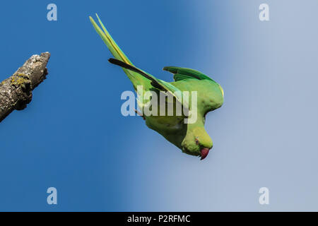 London, UK. 16 June, 2018. A Parakeet launches of a perch on a sunny day in Peckham Rye. David Rowe/ Alamy Live News - Stock Photo