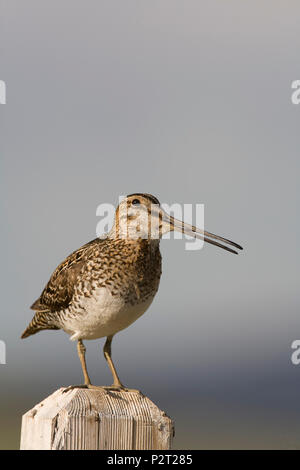 Wilson's snipe (Gallinago delicata) sounds the alarm from its lookout perch on a fence post. Snipe keep careful watch when they have young. - Stock Photo