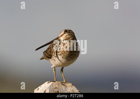 Wilson's snipe (Gallinago delicata) carefully scvans the sky checking for flying predators. Snipe perch on posts as lookouts watching over their young - Stock Photo