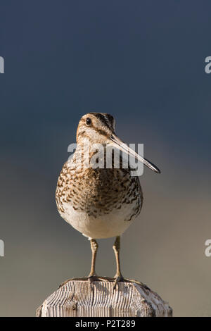Wilson's snipe (Gallinago delicata) intently watches as it stands guard over young in the grass below. Snipe frequently perch on posts. - Stock Photo