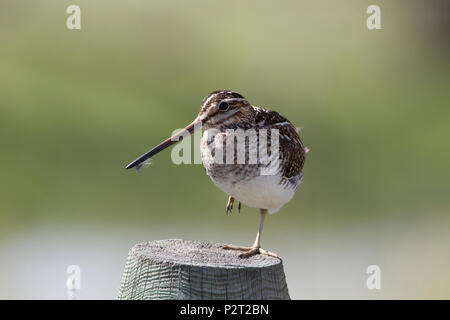 A Wilson's snipe (Gallinago delicata) demonstrates a balancing act as it stands on one leg on a post. - Stock Photo