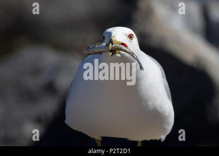 Male ring-billed gull (Larus delawarensis) offering a fresh caught minnow. During courtship the male gull feeds his mate. - Stock Photo