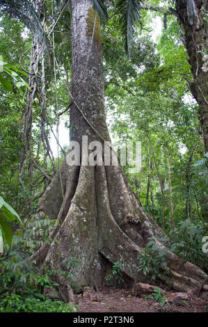 The giant kapok trees and their giant buttress roots in the amazon rain forest - Stock Photo