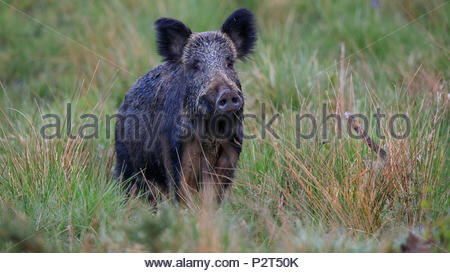 An adult Wild Boar is encountered near Awres Glow deep in the beautiful Forest of Dean - Stock Photo