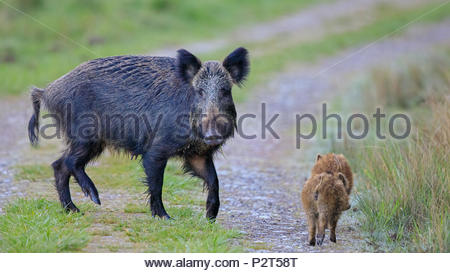 A Wild Boar Sow looks threateningly at the photographer whilst her young make a quick escape. - Stock Photo