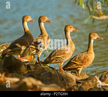 Group of four beautiful plumed whistling ducks, Dendrocygna eytoni, in symmetrical poses beside blue water of wetlands at Bundaberg Australia - Stock Photo