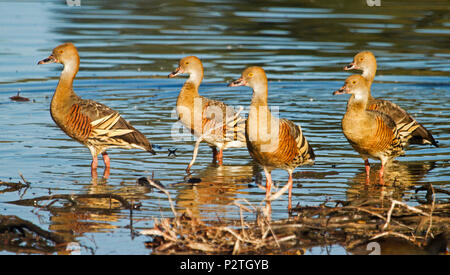 Panoramic view of group of plumed whistling ducks, Dendrocygna eytoni, wading and reflected in shallow blue water of lake at Bundaberg Australia - Stock Photo