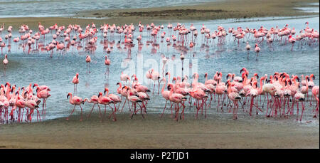 Flamingos, Walvis Bay, Erongo Region, Namibia - Stock Photo