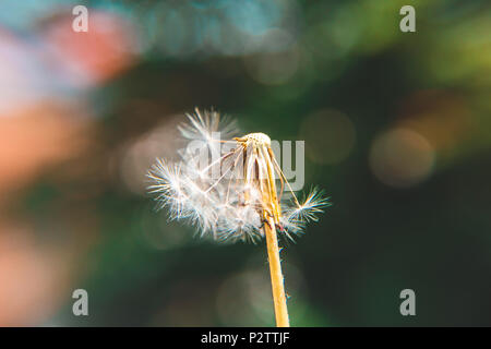 Half a dandelion with colorful bokeh background - Stock Photo