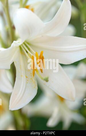 Madonna lily. Lilium candidum. - Stock Photo