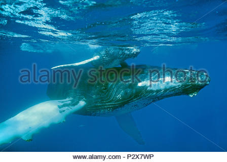 Humpback whales (Megaptera novaeangliae), mother with calf, Silverbanks, Dominican Republic - Stock Photo