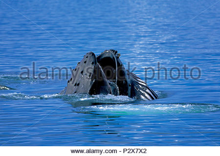 Humpback whale (Megaptera novaeangliae) with open mouth at surface, feeding, Alaska, USA - Stock Photo