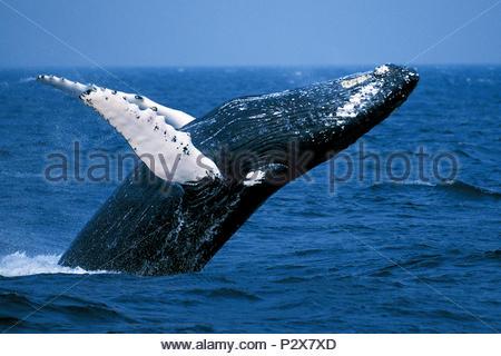 Springender Buckelwal (Megaptera novaeangliae), Alaska, USA | Humpback whale ( Megaptera novaeangliae), breaching, Alaska, USA - Stock Photo