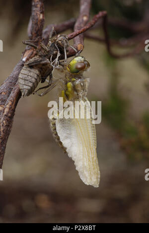 Four-spotted Chaser, Libellula quadrimaculata, wings almost fully extended after emergence - Stock Photo