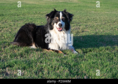 Adorable Black and White Shepherd Dog Resting in Grass - Stock Photo