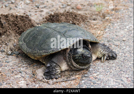 Common Snapping Turtle laying eggs in a nest - Stock Photo