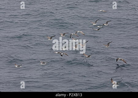 Lesser Black-backed Gull (Larus fuscus) flock of  immature birds in flight  Atlantic Ocean off coast of Portugal              May - Stock Photo
