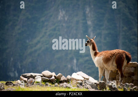 A Llama stands on the highest peak of Machu Picchu and looks across the valley - Stock Photo