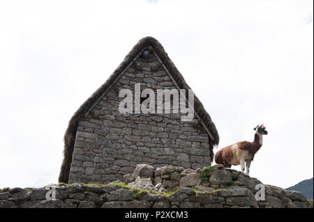 A Llama stands in front of an old building on the highest peak of Machu Picchu and looks across the valley - Stock Photo