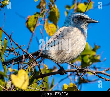 Florida Scrub Jay on a perch - Stock Photo