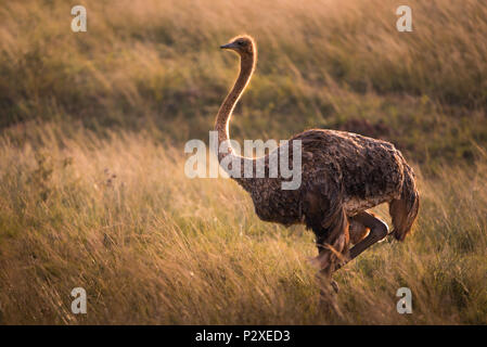 Lone female ostrich in grassy African savannah at golden hour - Stock Photo