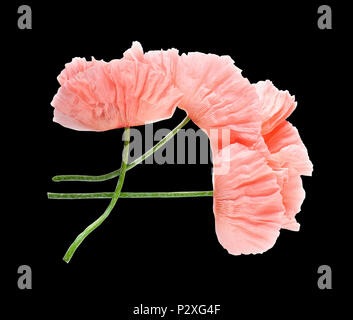 Pink delicate poppy flowers isolated on black background. Macro. A symbol of sleep, oblivion and imagination. National flower of Ukraine. - Stock Photo