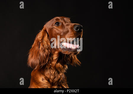 Portrait of Irish Setter dog isolated on black background - Stock Photo