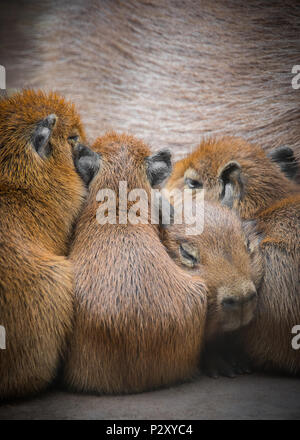 A young captive capybara cuddling against its mother demonstrate's how 'there's one in every family'! - Stock Photo