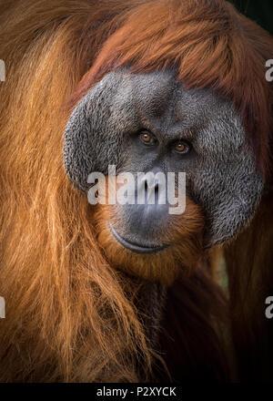 A captive Sumatran Orangutan at a zoo in South Australia.  Sumatran Orangutans are critically endangered due to habitat loss for palm oil plantations. - Stock Photo