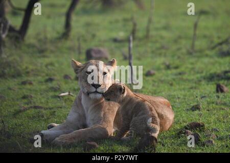 Lioness and cub resting on the Maasai Mara plains (Panthera leo). Kenyan Safari, picture taken in the Olare Motorogi Conservancy. - Stock Photo