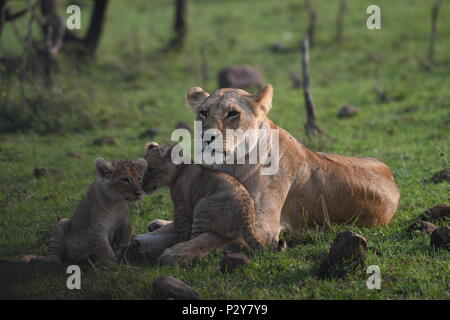 Lioness and cubs playing on the Maasai Mara plains (Panthera leo). Kenyan Safari, picture taken in the Olare Motorogi Conservancy. - Stock Photo