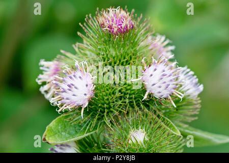 Lesser Burdock (arctium minus), close up of a group of flowering heads. - Stock Photo