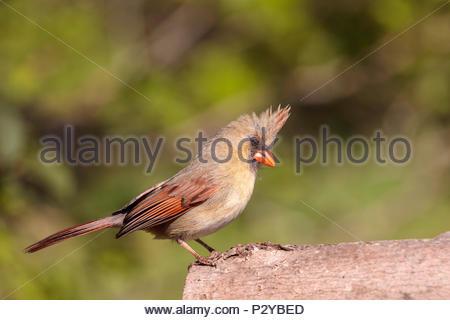 Northern Cardinal Cardinalis cardinalis female - Stock Photo