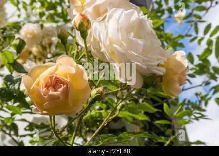 Rose 'Ghislaine de Feligonde', a Musk Rambling Rose. Fragrant semi double white /apricot blooms. In bud and flower. Rosa. - Stock Photo