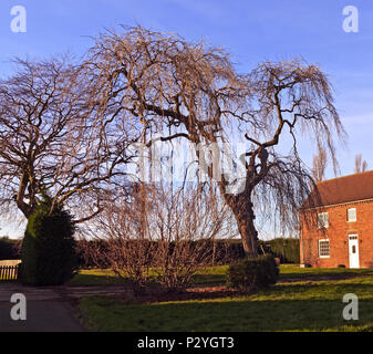 Beech tree fagus sylvatica weeping or pendula form in - Grange mobel deutschland ...