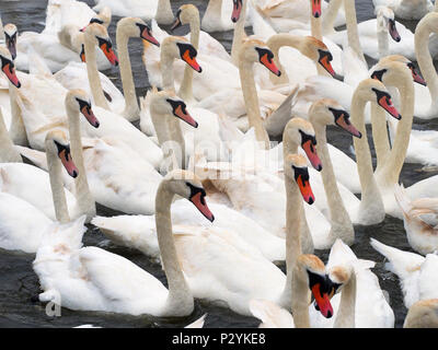 Mute Swans Cygnus olar flock of non breeding adults - Stock Photo