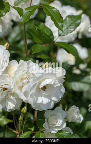 beautiful white roses growing wild in a large rose bush in an english cottage garden on the isle of wight. - Stock Photo
