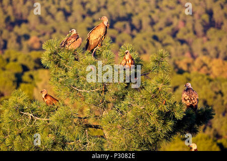 Group of Griffon Vultures (Gyps fulvus) in a treetop in evening light, near Cordoba, Sierra Morena, Andalucia, Spain. - Stock Photo