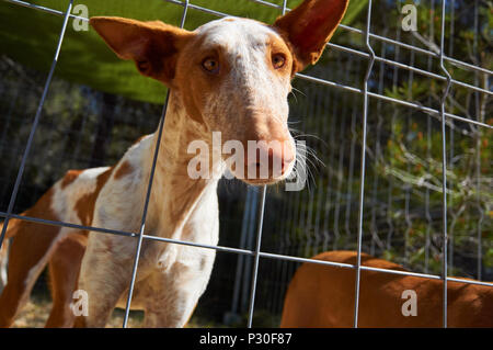 An Ibizan Hound sticking his head out through a fence in Formentera (Pityusic Islands, Balearic Islands, Spain) - Stock Photo