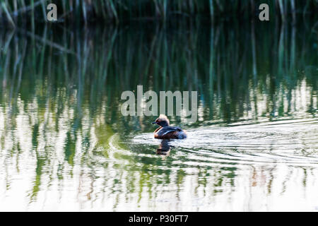 Beautiful duck Slavonian Grebe, Podiceps Auritus, an early morning in a pond on the swedish island Oland - Stock Photo
