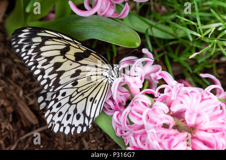 Idea Leuconoe butterfly (large tree nymph, rice paper, paper kite) sitting and eating on a pink hyacinth flower - Stock Photo