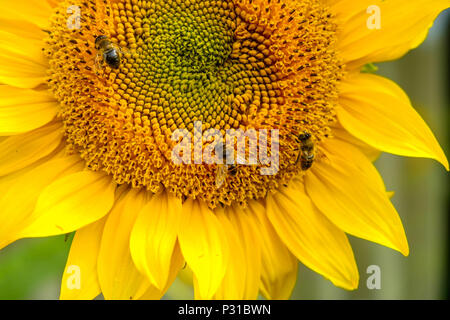 Three bees are working on a sunflower in a garden in the Belgian town of Mol. The flower is blooming and shows wonderful, bright colours. - Stock Photo