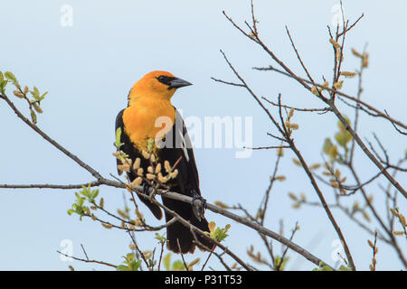 A male yellow headed blackbird (xanthocephalus)  on a branch in Hauser, Idaho. - Stock Photo