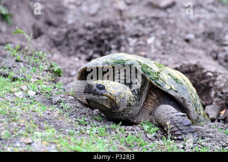 Snapping turtle on the roadside - Stock Photo