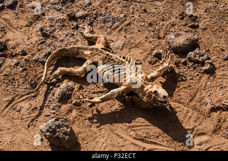 Dead lizard laying in dirt. Droughts impact with decomposing lizard skeleton. - Stock Photo