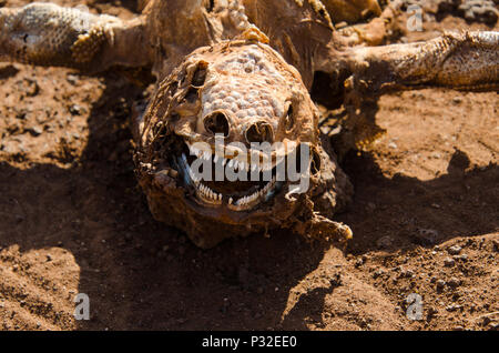 Close up of land iguana skeleton. Smiling face of dead lizard skeleton remains. - Stock Photo